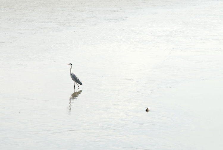 Gray Heron Bird Bird Photography Birds Of EyeEm  Birds_collection Birds🐦⛅ Japanese  Japan Photography Osaka,Japan Water Teal Animal Wildlife Animals In The Wild Animal Themes Animal No People White Color Reflection Water Bird Nature Tranquility Tranquil Scene Silent Moment Silence Beauty In Nature