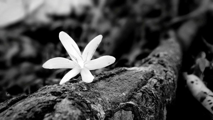 Close-up Flower White Black