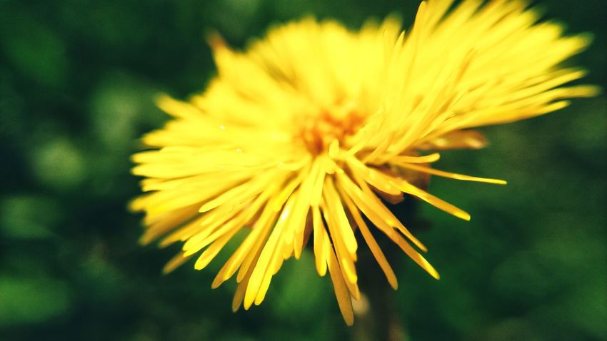 Mobilephotography Flower Head Flower Yellow Petal Close-up Plant Blossom Botany