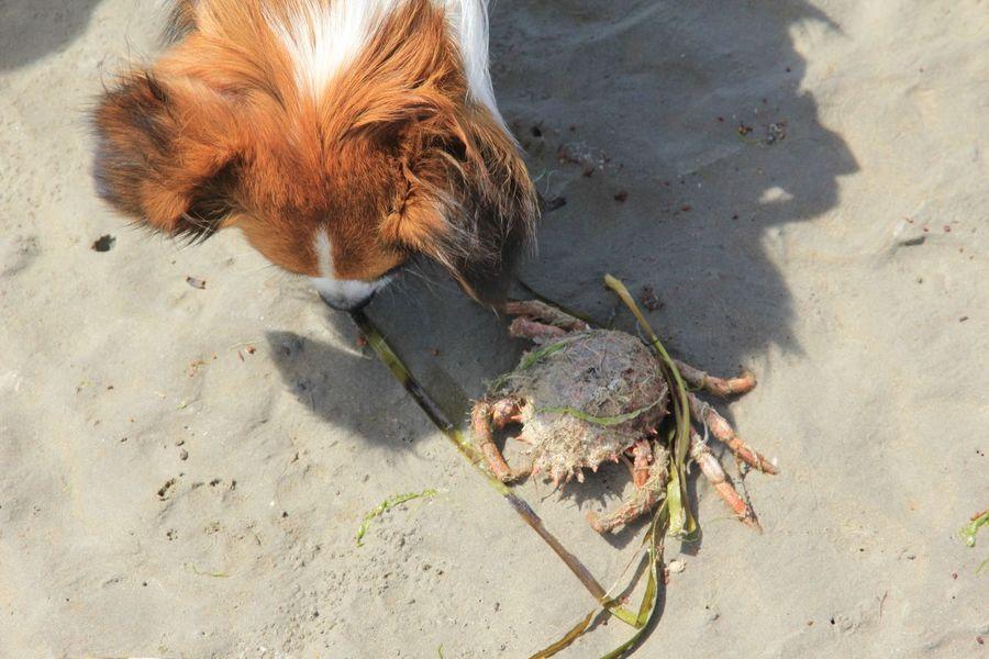 Hund und Krebs, Krabbe, Meer, Sand, Strand, Urlaub, Begegnung, tierisch, EyeEm Selects Sand Land High Angle View Beach Sunlight Nature Animal Themes Animal Animal Wildlife Animals In The Wild Outdoors Close-up Marine