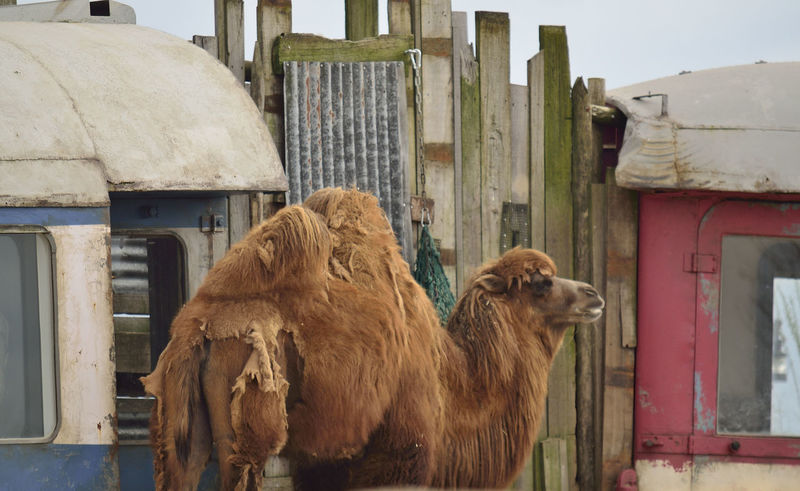 Animal Themes Camel Day Mammal No People Old Trains Outdoors Staring