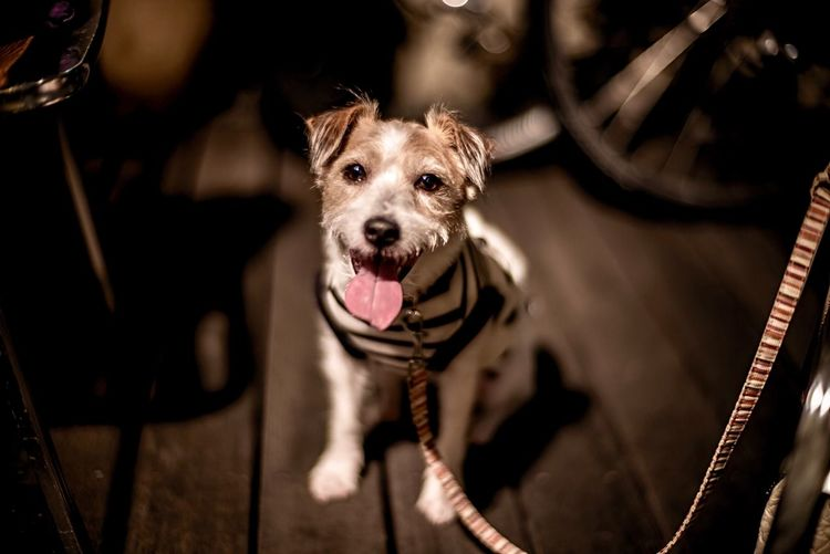 Kinoko Jack Russell Terrier Jack Russell EyeEm Selects One Animal Dog Canine Mammal Animal Themes Animal Domestic Pets Portrait Domestic Animals Looking At Camera Sticking Out Tongue Mouth Vertebrate Mouth Open Facial Expression Animal Body Part No People Animal Tongue Panting