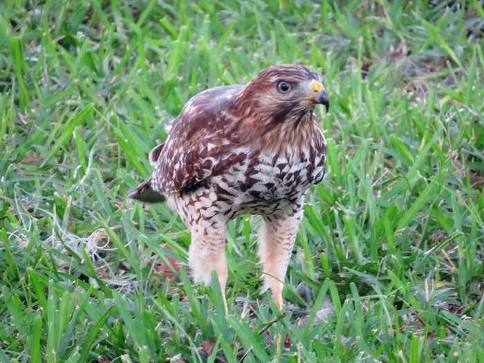 Broadwinged Hawk Broad Winged Hawk Hawk One Animal Animal Themes Bird Of Prey Bird Animals In The Wild Grass Field Animal Wildlife Nature No People Hawk Green Color Outdoors Day Close-up Birds Bird Photography