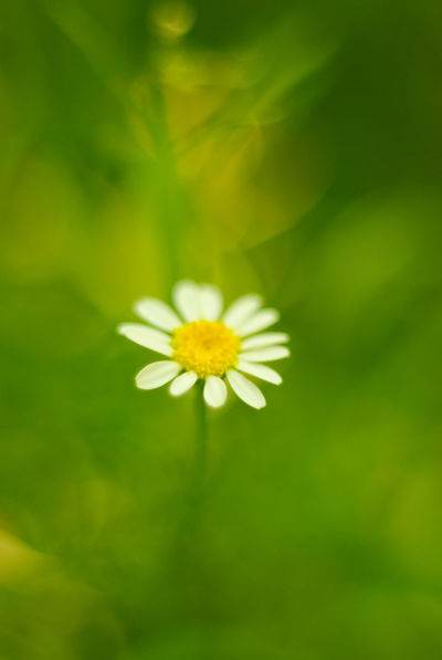 lonely daisy in the grass Beauty In Nature Blooming Botany Close-up Daisy Flower Flower Head Fragility Freshness Growth Nature Nature Photography Nature_collection Petal Pollen Softness Springtime Visual Magic Visual Poetry White Yellow