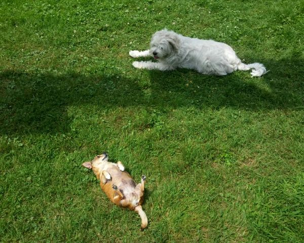 Dogs Goldendoodle Chihuahua Summer Dogs