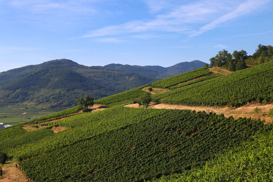 Vineyard and mountain range Agriculture Beauty In Nature Crop  Day Environment Farm Field Green Color Growth Land Landscape Mountain Mountain Range Nature No People Outdoors Plant Plantation Rolling Landscape Rural Scene Scenics - Nature Sky Tranquil Scene Tranquility Vineyard