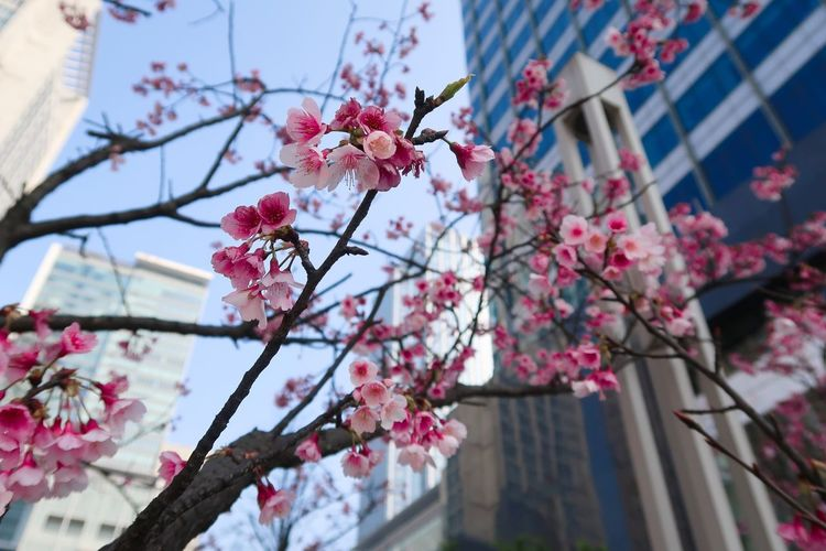 Cherry blossoms! Flower Fragility Blossom Cherry Blossom Beauty In Nature Freshness Springtime Growth Pink Color Branch Cherry Tree Tree Petal Nature Apple Blossom No People Low Angle View Botany Day Flower Head