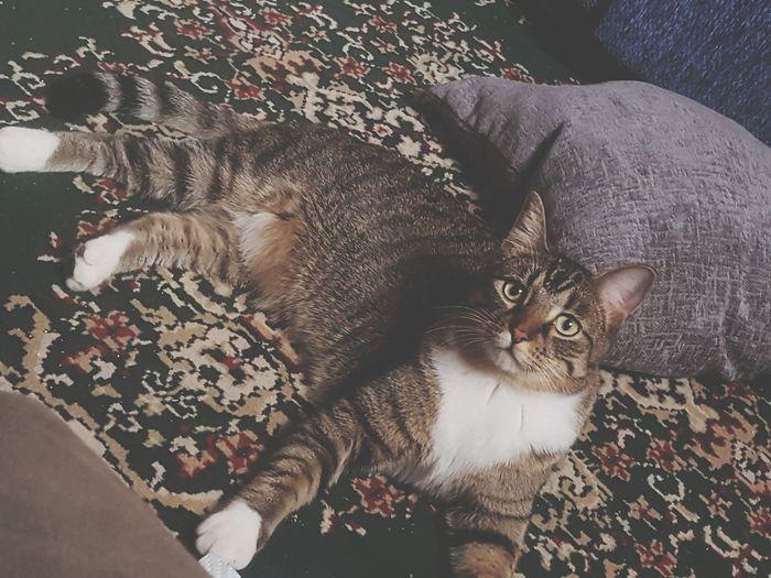 Domestic Cat Pets One Animal Feline Lying Down
