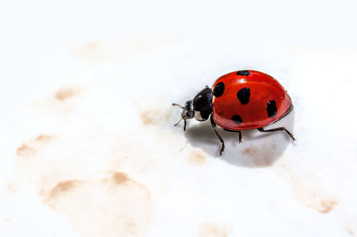 Ladybird Animal Themes Animal Wildlife Animals In The Wild Close-up Day Insect Ladybird Ladybirds Ladybug Nature No People One Animal Outdoors Red Spotted Tiny