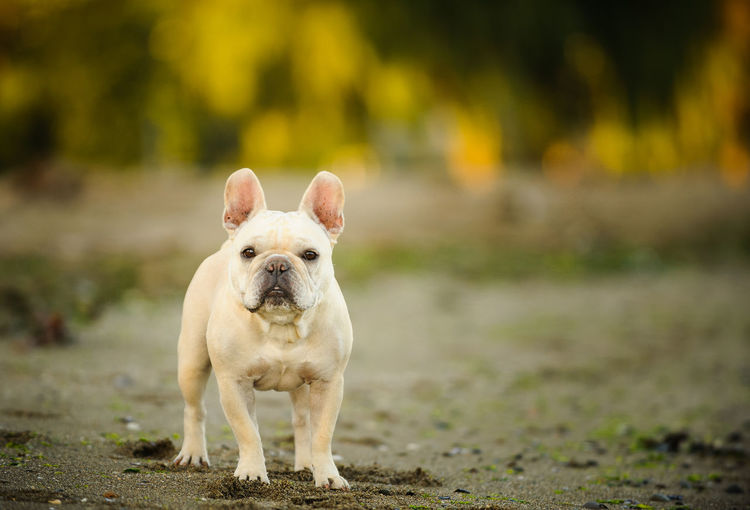 French Bulldog Animal Themes Bulldog Dog French Bulldog Natural Light No People Outdoors Pet Pets