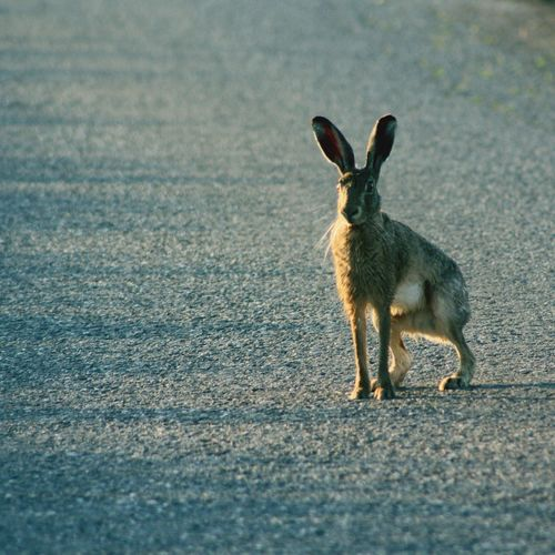 Side view of rabbit standing on road