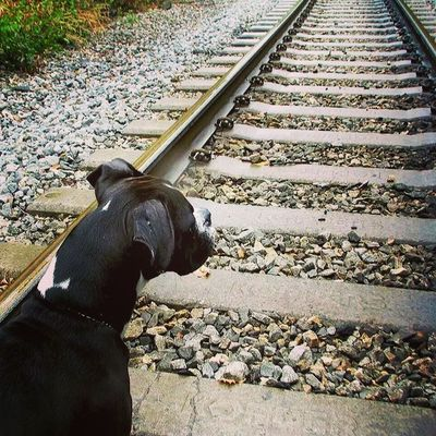Mylovebug Jackson Boxerpuppy All_my_own Bestfriends westvirginia traintrack countryroads rsa_theyards ptk_pets igers_of_wv love_nature instanaturelovers lincolncounty nature_seekers