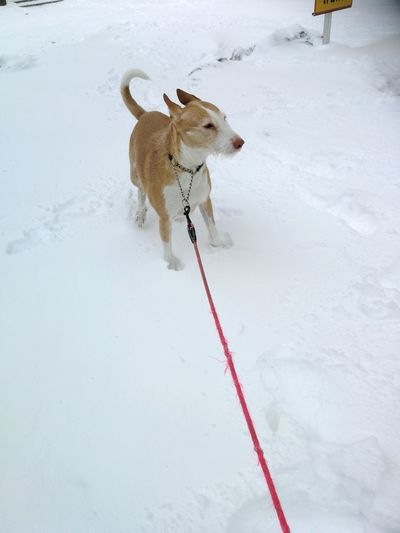 Podenco Podenco Andaluz Dog Hund Coold Frea Freezing Snow Winter Animal One Animal Cold Temperature Dog Outdoors Day Full Length Domestic Animals Nature No People
