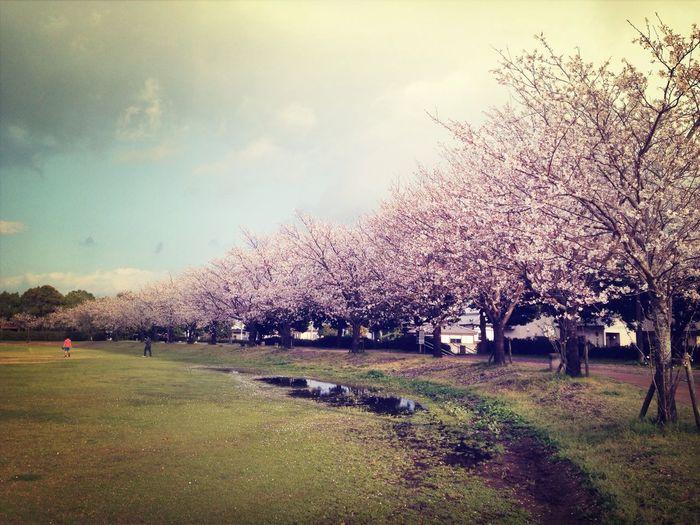 鹿屋市の県民健康プラザの桜は満開です