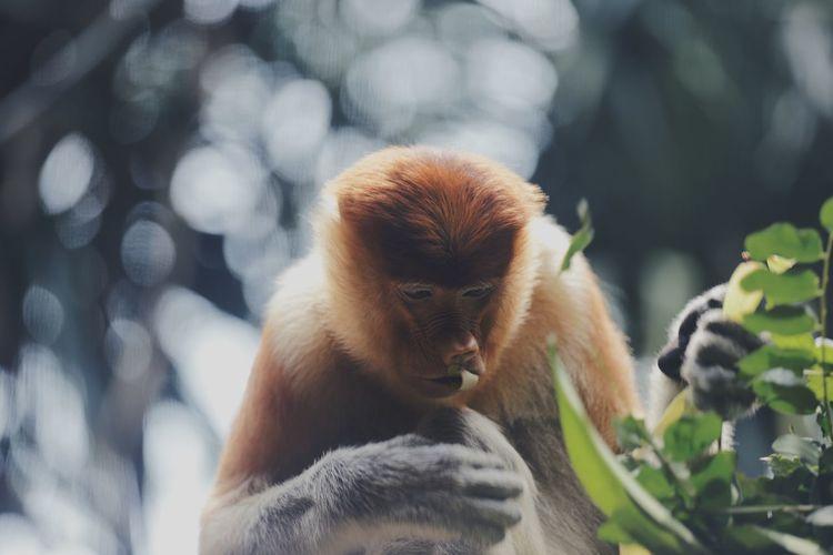 Monkey eating plant