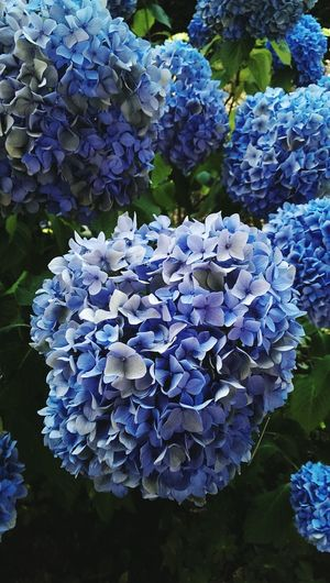 blue hydrangeas blossoms Nature Backgrounds Botanical Species Gardens Backdrops Outdoors Gardens Sunny Shadows & Lights Flowering Plants Flower Flower Head Hydrangea Blue Close-up Flowering Plant Botanical Garden Plant Part Living Organism