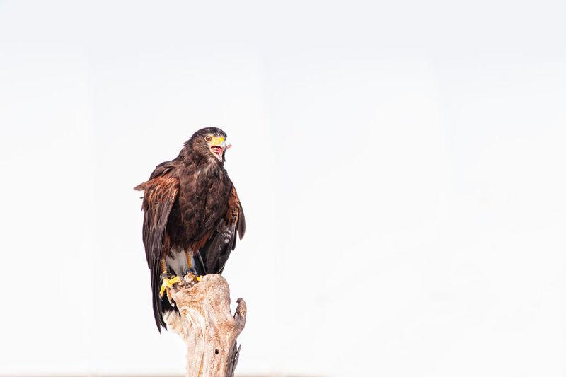 Animal Themes Animal Wildlife Animals In The Wild Bald Eagle Beauty In Nature Bird Bird Of Prey Day Eagle - Bird Nature No People One Animal Outdoors Perching
