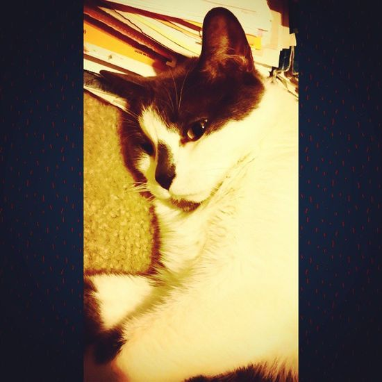 My cat Ray! Mycatiscoolerthanyourkids Lovemycat♥ Snugglebuddy Naptime :) Sweetboy MyFurryFriend