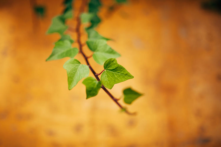 Araliaceae Hederahelix Nature Wall Beauty In Nature Day Fragility Freshness Green Color Growth Hedera Hedera Helix Hedera On Wall Leaf Lines And Shapes Nature Nature_collection Outdoors Plant Walls Yellow Yellow Wall Visual Creativity