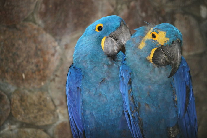 Vogelpark Walsrode Vogelfotografie Bird Photography Hyacinth Macaw Hyacinth Arra Bird Macaw Parrot Multi Colored Blue Feather  Gold And Blue Macaw Close-up Tropical Bird
