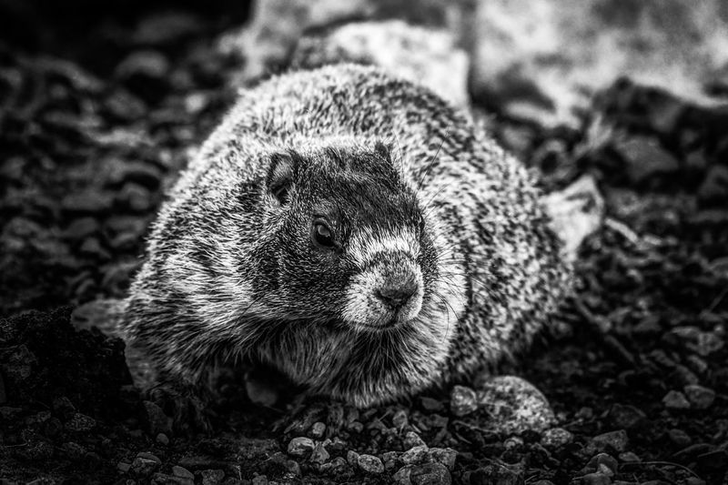 Rocky The Rock Chuck Rock Chuck Grand Coulee Wa Black And White Silvered Animal Wildlife One Animal Animals In The Wild Animal Themes No People Close-up Nature Portrait Day Outdoors EyeEmNewHere