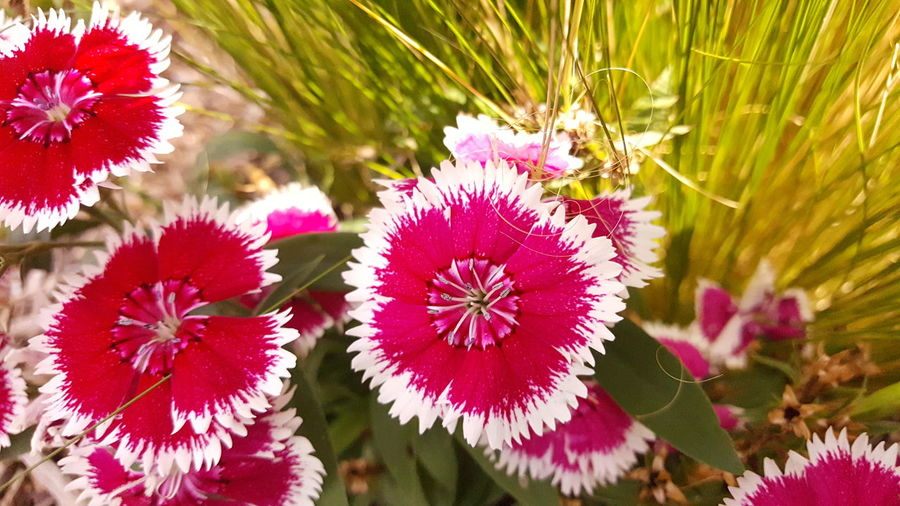 Sweet William flower. Fountain, Colorado Flowers, Nature And Beauty Flower Photography Blossom Blooming Check This Out No Filter, No Edit, Just Me Full Colors  Colorful