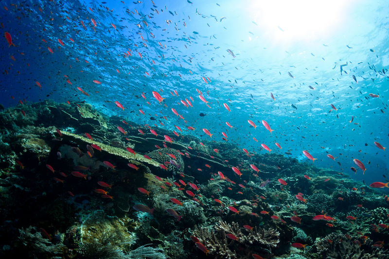 indonesia Underwater Water Sea UnderSea Sea Life Animal Wildlife Animals In The Wild Marine Fish Swimming Animal Large Group Of Animals Group Of Animals Nature Vertebrate No People Animal Themes Beauty In Nature Coral School Of Fish Outdoors Ecosystem