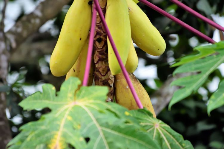 Wildlife and forestry Banana Beauty In Nature Close-up Day Focus On Foreground Food Food And Drink Freshness Fruit Green Color Growth Healthy Eating Leaf Nature No People Outdoors Plant Plant Part Ripe Tree Yellow