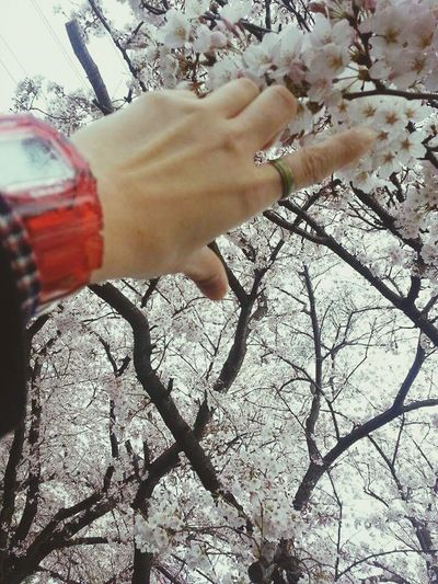 桜🌸 Cherryblossom 2016年 Japan Enjoying Life Hello World Sakura Acehjapan