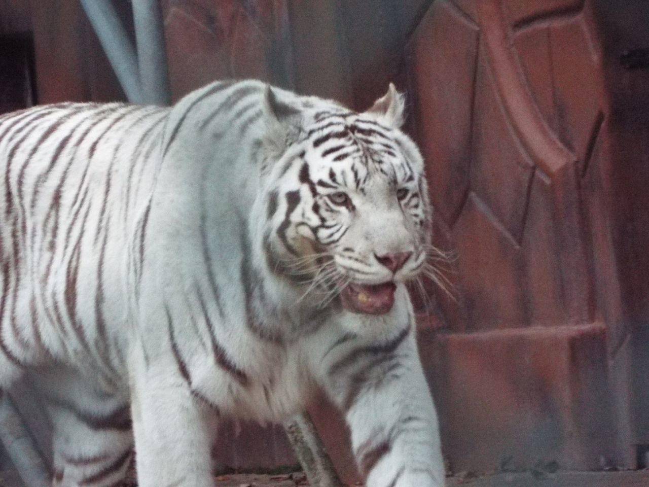 one animal, animal themes, animals in the wild, tiger, mammal, white tiger, feline, animal wildlife, animal markings, no people, whisker, day, close-up, nature, outdoors