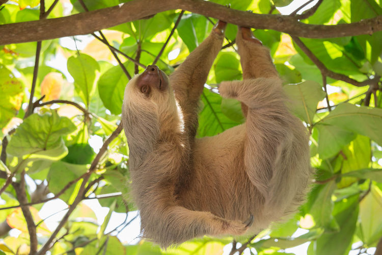 Animal Animal In Tree Animal Themes Animals In The Wild Day Green Color Hanging Sloth Low Angle View Nature No People One Animal Outdoors Plant Sloth Tree