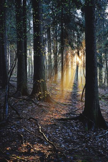 Last Light. Tree Forest Nature Beauty In Nature Scenics Tranquil Scene WoodLand Tree Trunk Tranquility Non-urban Scene Outdoors No People Autumn Growth Landscape Day Sunset Woods Branch Water Outdoor Photography Light And Shadow Sunrays