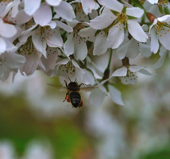 Insect bee