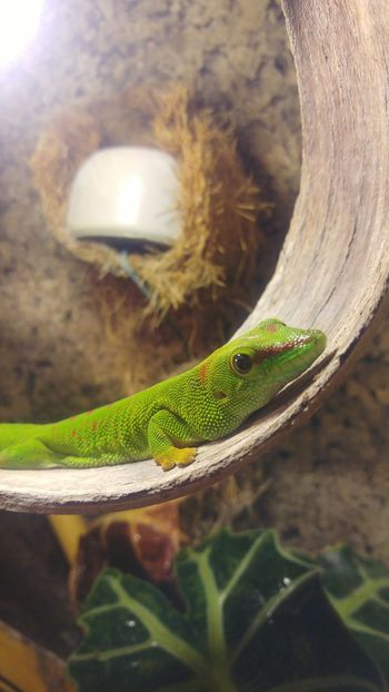 One Animal Animal Themes Close-up No People Reptile Lizard Outdoors Madagascar Gecko Gecko Terrarium🍀 Terrariums Terrarium Terraristik Day Reptile Green Color