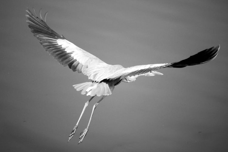 Rear view of heron flying against sky