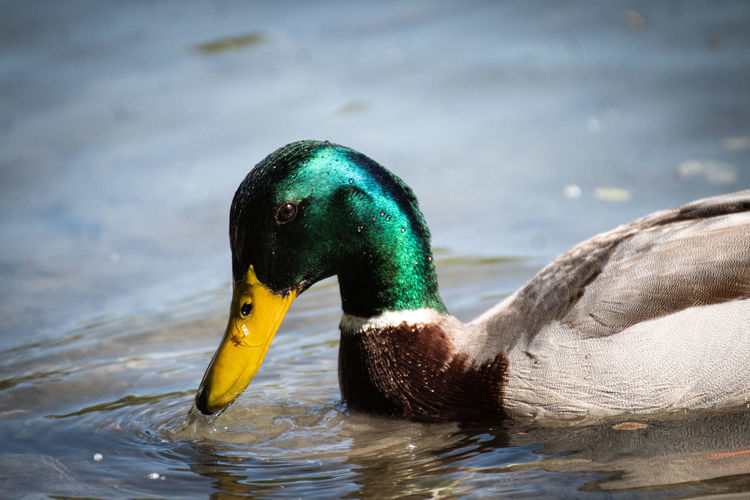A duck swimming in water