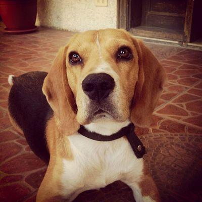 """Now who can resist those hazel eyes?"" Dog Beagle Puppy DogLove raver mybaby love"