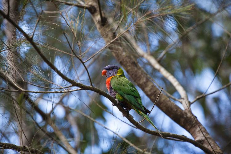 Rainbow lorikeet perching on branch