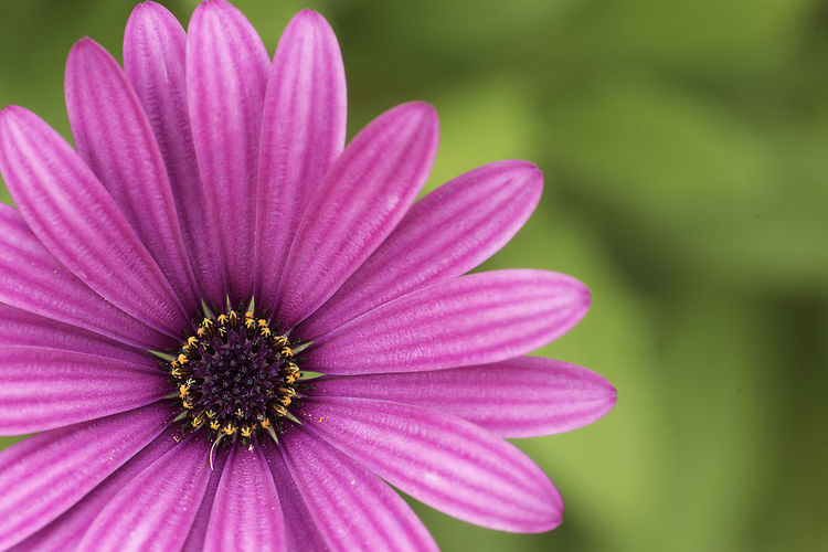 Osteospermum fruticosum, also called African daisy or shrubby daisy Flowering Plant Asteraceae Flower Osteospermum Fruticosum African Daisy Bush Daisy Daisy Flower Focus On Foreground Nature Pollen Osteospermum Flower Head Petal Plant Close-up Day Purple Outdoors Pink Color Beauty In Nature Vulnerability  Fragility Freshness Inflorescence Growth