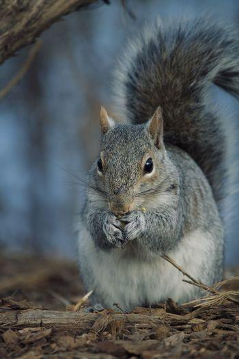 Close-up portrait of squirrel