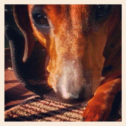 My Suki!! Dachshund Dachshund Doxie Doxies ifuckinglovemydog dogs pets