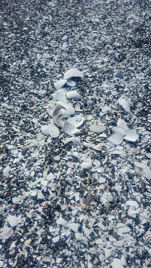 Oceanshores Northcoast California BeachShells White Shells Seashells Atthebeach Sand White Whitecolor Showcase July