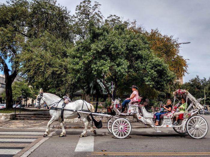 paseo Paseo Southerntraditions Oldfashion Whitehorse Horsecarriage Waysoftransportation