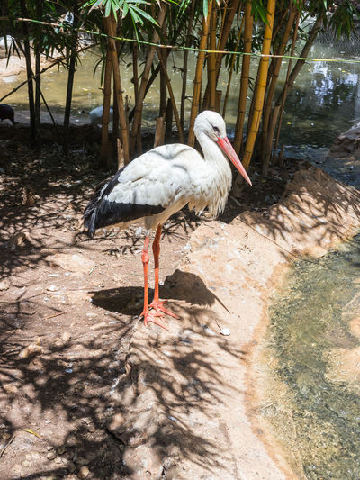Side view of white stork by pond at zoo