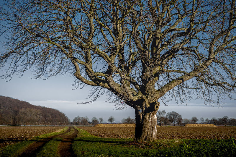 Horse Chestnut Tree Bare Tree Beauty In Nature Branch Day Environment Field Growth Horse Chestnut Tree Land Landscape Nature No People Outdoors Plant Rural Scene Scenics - Nature Sky Tranquil Scene Tranquility Tree Tree Trunk Trunk