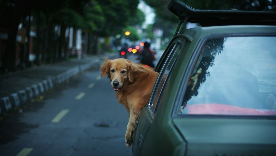 Dog Looking Through Car On Street