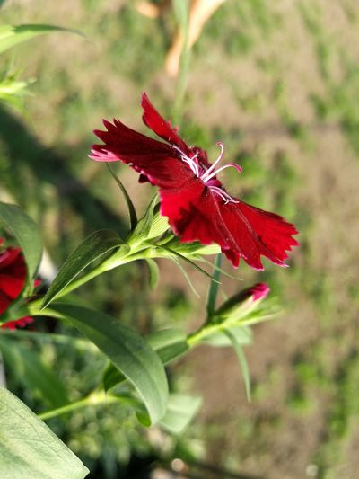 Red RedFlower Mypointofview Naturelovers Beautiful Nature Beautiful Flowers Flower Flower Head Red Leaf Close-up Plant