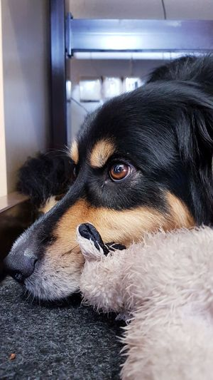 Pets Domestic Animals Dog Animal Themes Mammal One Animal Indoors  Portrait No People Close-up Day Dog❤ Australianshepherd Office Dog With Toy Dreaming Dog