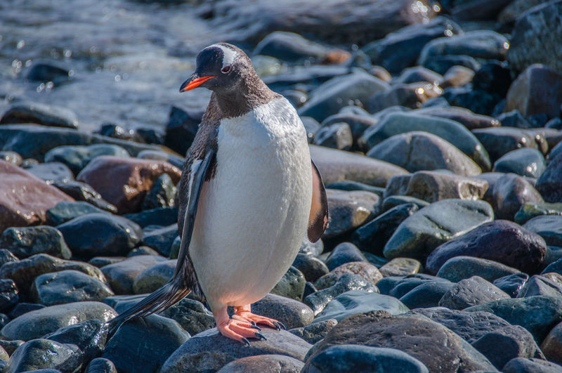 Close-up of penguin on pebbles at beach