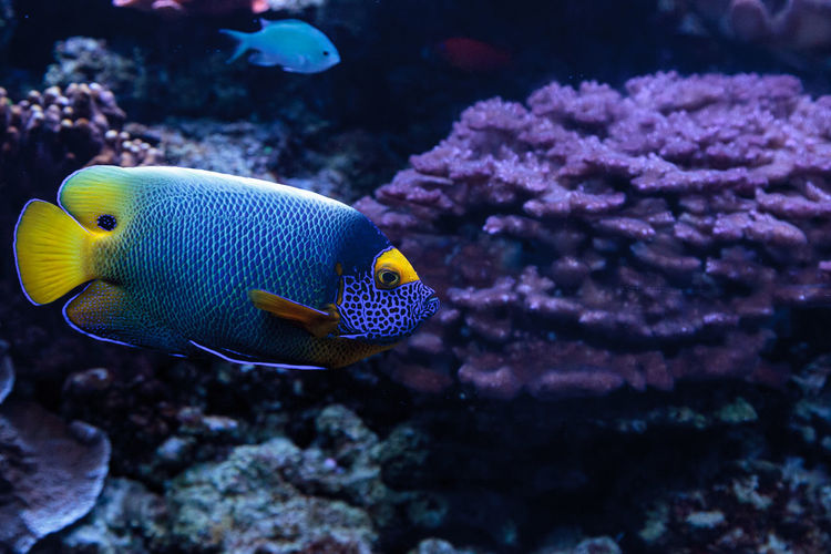 Blueface angelfish swimming in sea